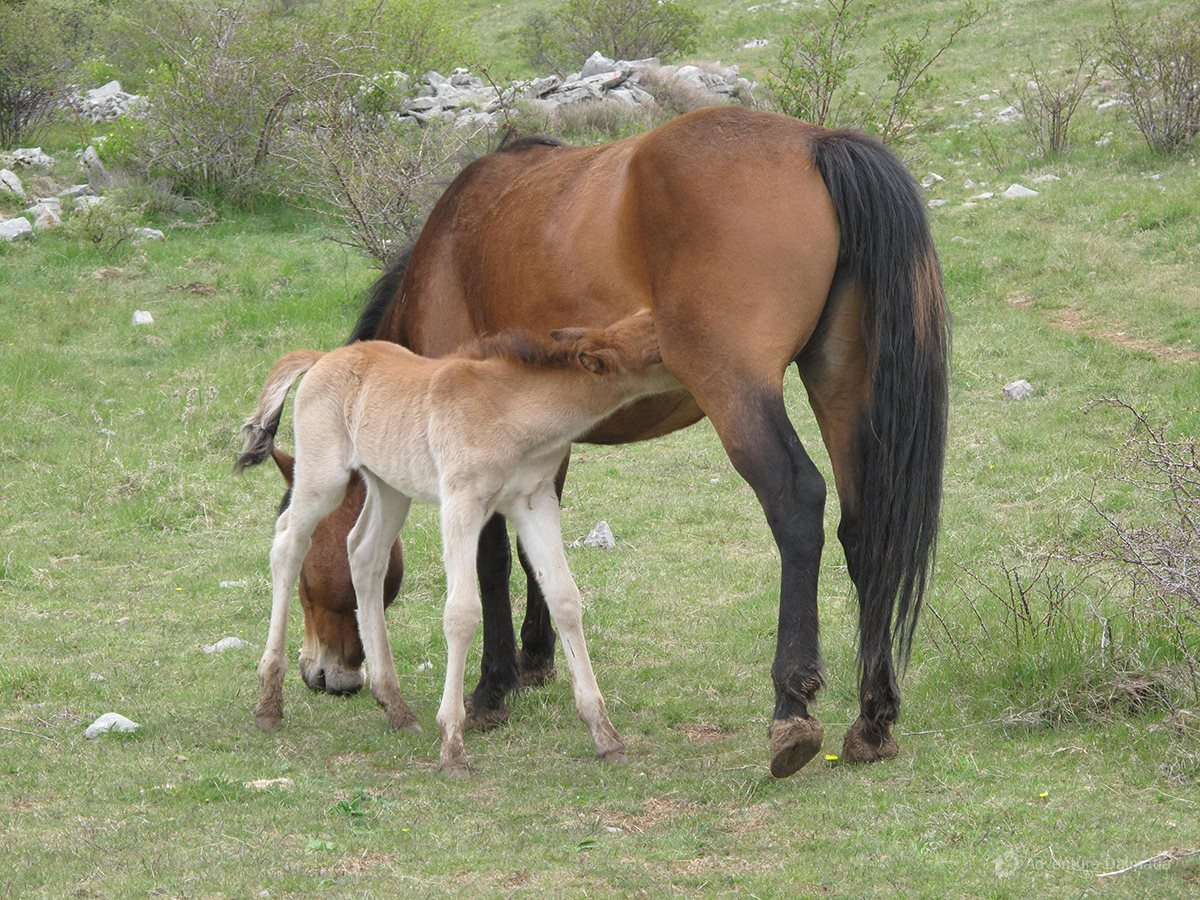 A mother and a child, wild horses on Velebit