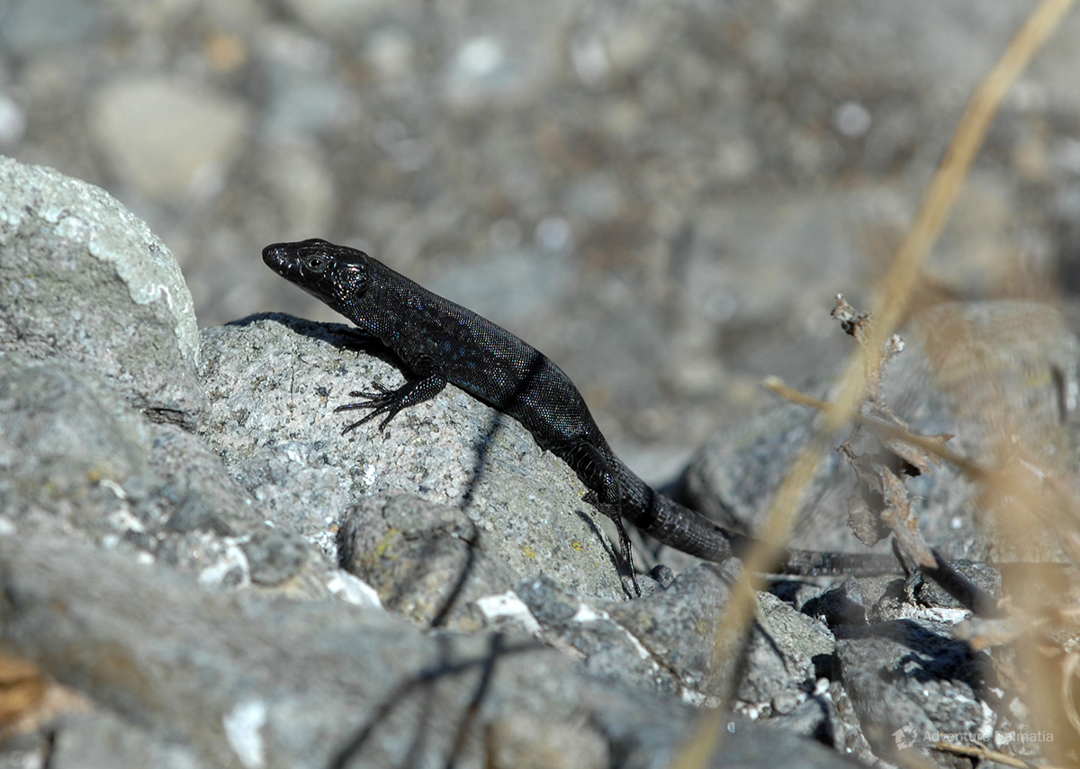 Endemic black lizard lives on unhabitated open sea islands Svetac, Brusnik and Jabuka