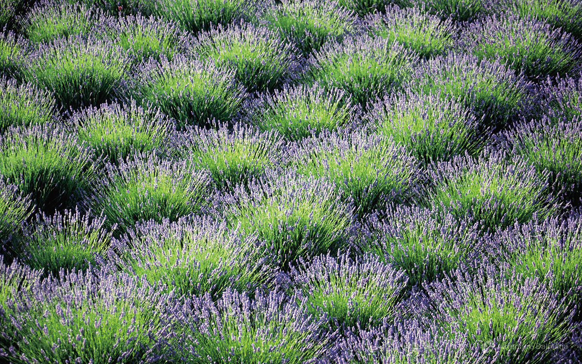 Lavender fields on the island of Hvar