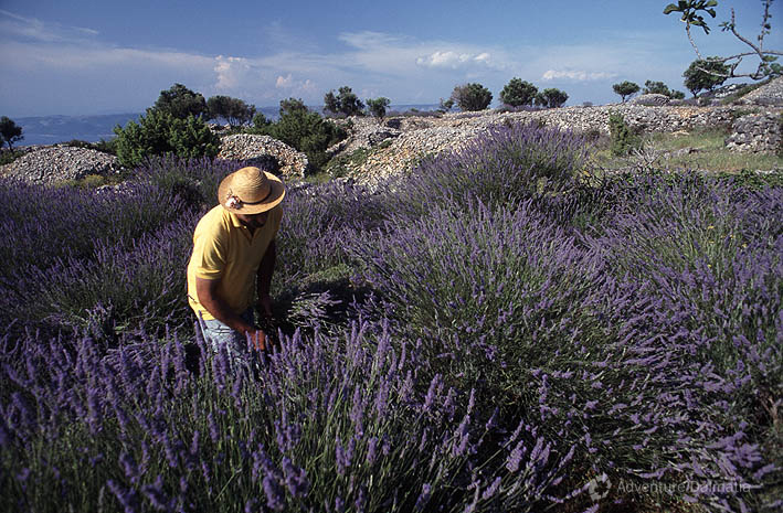 Hvar is the biggest producer of lavender in Croatia